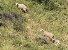 Schafe in der Natur Schafe auf Wiese Schafe im Hügel Stockbilder