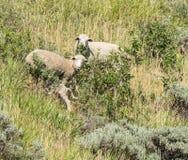 Schafe in der Natur Schafe auf Wiese Schafe im Hügel Lizenzfreie Stockfotografie