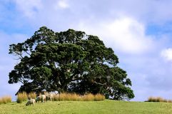 Schafe an der Oberseite eines Hügels in landwirtschaftlichem Neuseeland Lizenzfreie Stockfotos