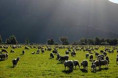 Schafe in der Ranch lizenzfreie stockbilder
