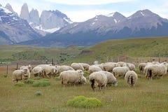 Schafe an der Ranch im Patagonia in Magallanes-Region, Süd-Chile lizenzfreies stockfoto