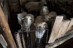 Schafe in der Scheune Stockfoto