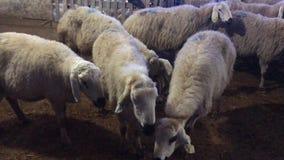 Schafe in der Scheune stock video
