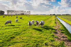 Schafe in der Sonne des späten Nachmittages Lizenzfreie Stockfotografie