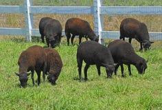 Schafe in der Weide Lizenzfreie Stockbilder