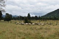 Schafe in der Weide Lizenzfreie Stockfotos