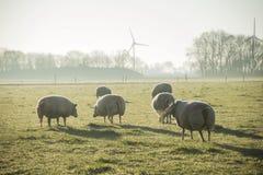 Schafe in der Weide mit Morgensonnenlicht lizenzfreie stockfotos