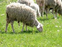 Schafe in der Wiese stockbild