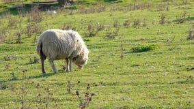Schafe in der Wiese stock video