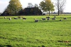 Schafe in der Wiese Lizenzfreies Stockbild