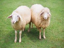 Schafe in der Wiese Lizenzfreie Stockfotos