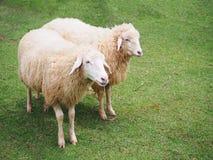 Schafe in der Wiese Stockbilder