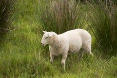 Schafe in der Wiese an einem sonnigen Tag Lizenzfreies Stockbild