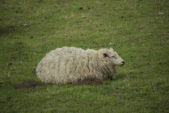 Schafe in der Wiese an einem sonnigen Tag Stockfotografie