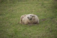 Schafe in der Wiese an einem sonnigen Tag Stockbild