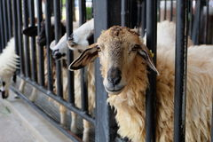Schafe an der Zelle Stockfoto
