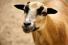Schafe des Cameroon-Zwergs blackbelly Lizenzfreie Stockbilder
