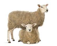 Schafe, die über einem anderen Lügen stehen Stockbild