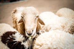 Schafe, die Anlage im Bauernhof essen Lizenzfreie Stockfotos