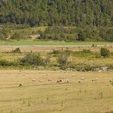 Schafe, die in Araucania, Chile weiden lassen Stockbilder