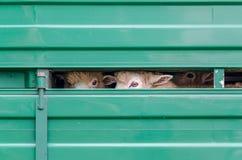 Schafe, die außerhalb des Fahrzeugs schauen Stockbilder