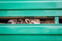 Schafe, die außerhalb des Fahrzeugs schauen Lizenzfreies Stockbild