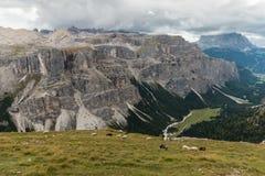 Schafe, die auf Alpenwiese in den Dolomit weiden lassen Stockbilder