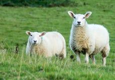 Schafe, die auf dem Gebiet aufpassen Lizenzfreie Stockbilder