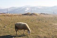Schafe, die auf dem Gebiet essen Stockbilder