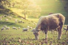 Schafe, die auf dem Gebiet essen Lizenzfreie Stockfotografie