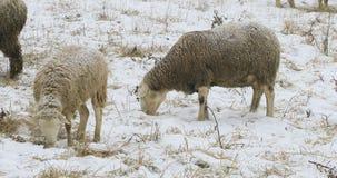 Schafe, die auf dem Gebiet im Schnee weiden lassen Stockbilder
