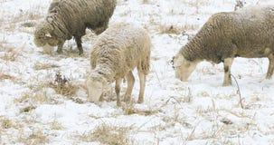 Schafe, die auf dem Gebiet im Winter weiden lassen Stockbilder