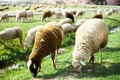 Schafe, die auf dem Gebiet weiden lassen Stockfotos