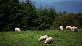 Schafe, die auf dem Gebiet weiden lassen stock footage