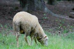 Schafe, die auf dem grünen Gebiet stehen Stockfotografie