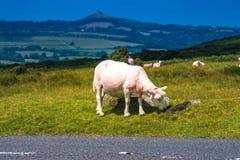 Schafe, die auf dem Heidemoorgras weiden lassen Stockfoto