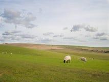 Schafe, die auf den Südabstiegen England weiden lassen Stockbild