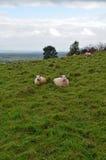 Schafe, die auf den Somerset-Niveaus weiden lassen Stockbild