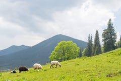 Schafe, die auf den Steigungen des Ukrainers Karpaten weiden lassen Lizenzfreie Stockbilder