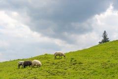 Schafe, die auf den Steigungen des Ukrainers Karpaten weiden lassen Stockfotos