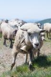 Schafe, die auf den Steigungen des Ukrainers Karpaten weiden lassen Lizenzfreies Stockbild