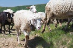 Schafe, die auf den Steigungen des Ukrainers Karpaten weiden lassen Stockbilder