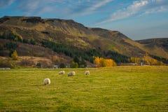 Schafe, die auf einem Gebiet in Island weiden lassen Stockfoto