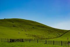 Schafe, die auf einem Gebiet in Matamata, Neuseeland weiden lassen lizenzfreie stockfotos