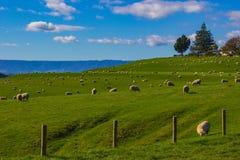 Schafe, die auf einem Gebiet in Matamata, Neuseeland weiden lassen stockbild