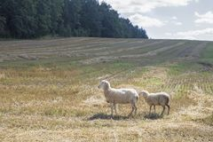 Schafe, die auf einem Gebiet weiden lassen stockfotografie