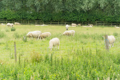 Schafe, die auf einem Gebiet weiden lassen Stockfoto