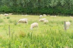 Schafe, die auf einem Gebiet weiden lassen Stockbild