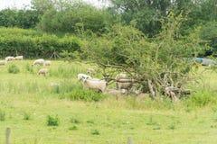 Schafe, die auf einem Gebiet weiden lassen Stockfotos