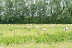 Schafe, die auf einem Gebiet weiden lassen Lizenzfreie Stockfotografie